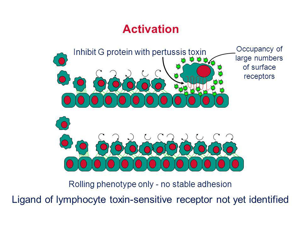 Activation Inhibit G protein with pertussis toxin. Occupancy of. large numbers. of surface. receptors.
