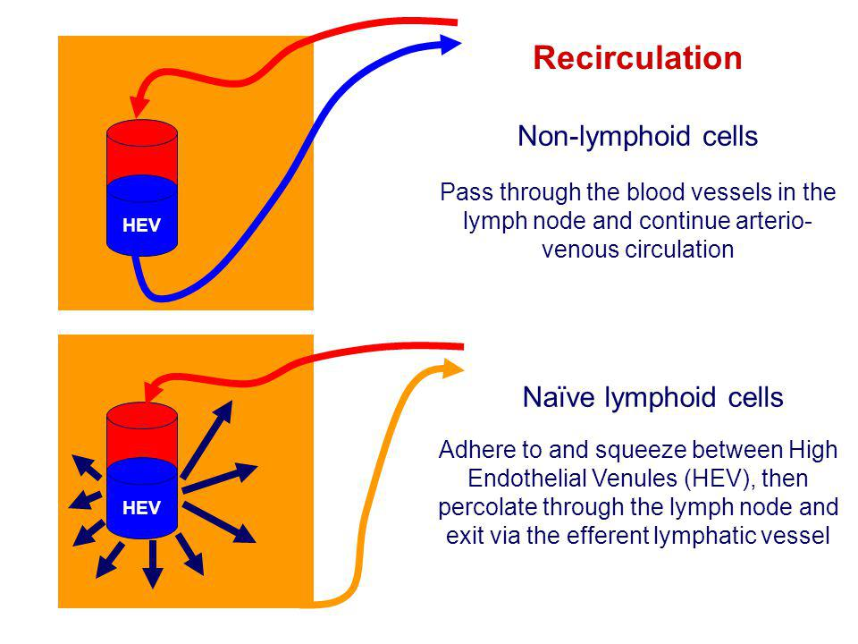 Recirculation Non-lymphoid cells Naïve lymphoid cells