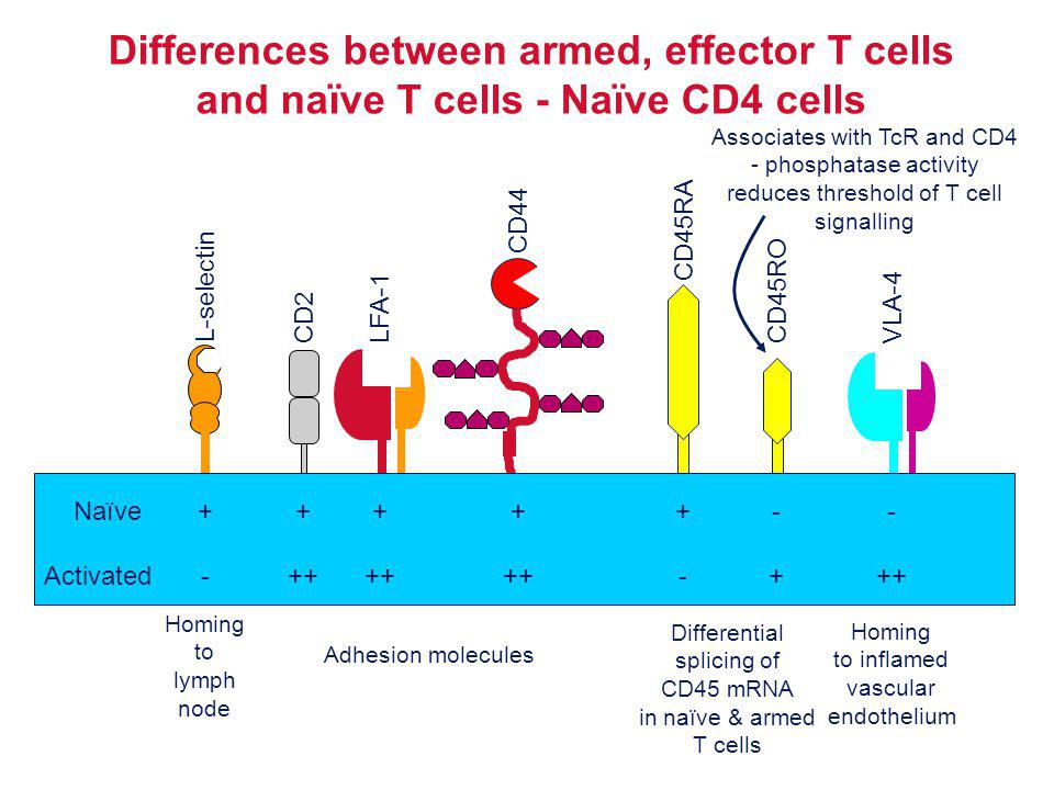 Differences between armed, effector T cells