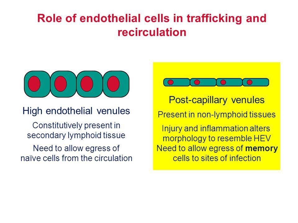 Role of endothelial cells in trafficking and recirculation