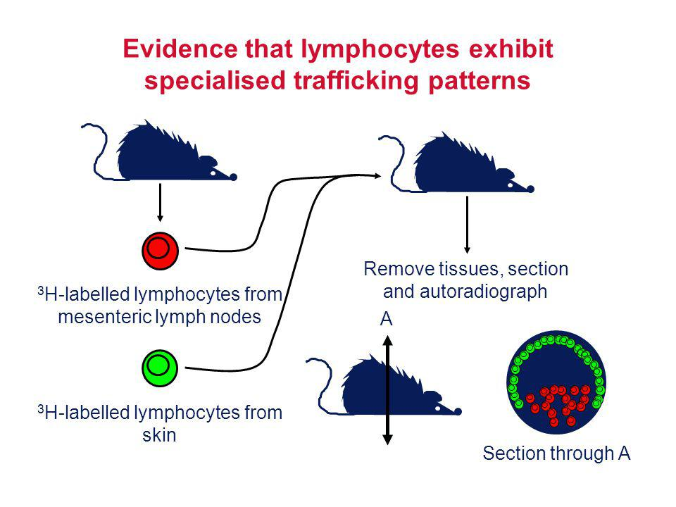 Evidence that lymphocytes exhibit specialised trafficking patterns