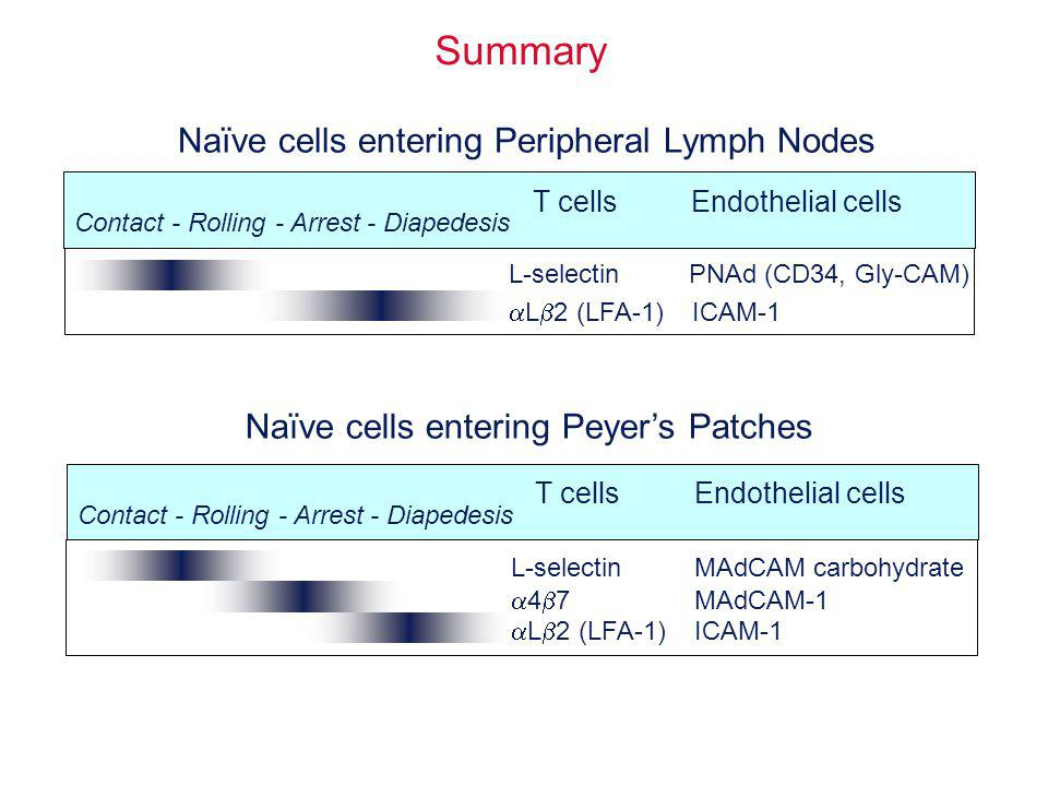 Summary Naïve cells entering Peripheral Lymph Nodes