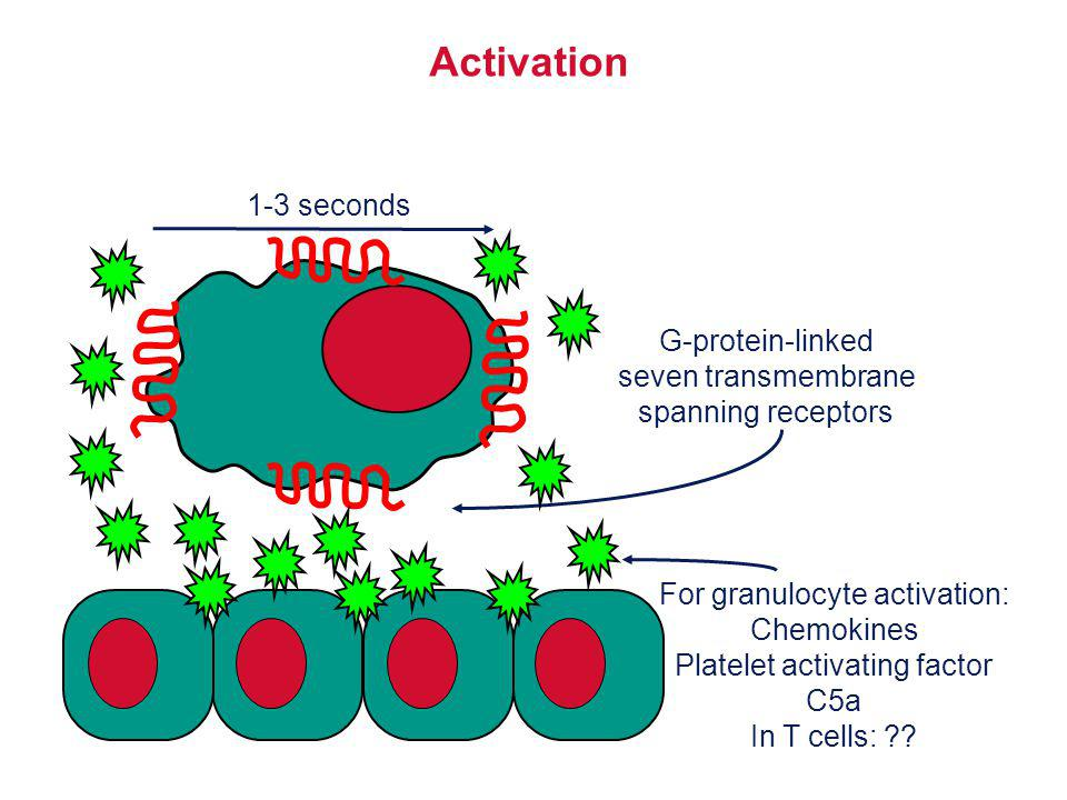 Activation 1-3 seconds G-protein-linked seven transmembrane