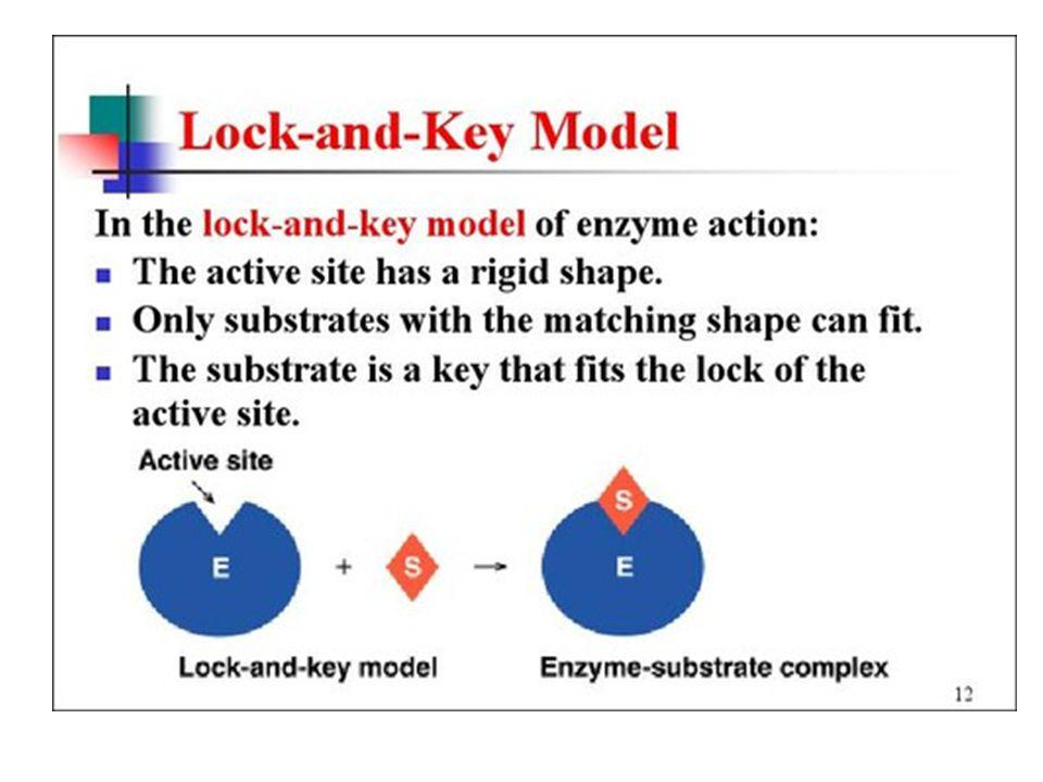 Enzymes Lock and Key Analogy: lock = enzyme, key = substrate.