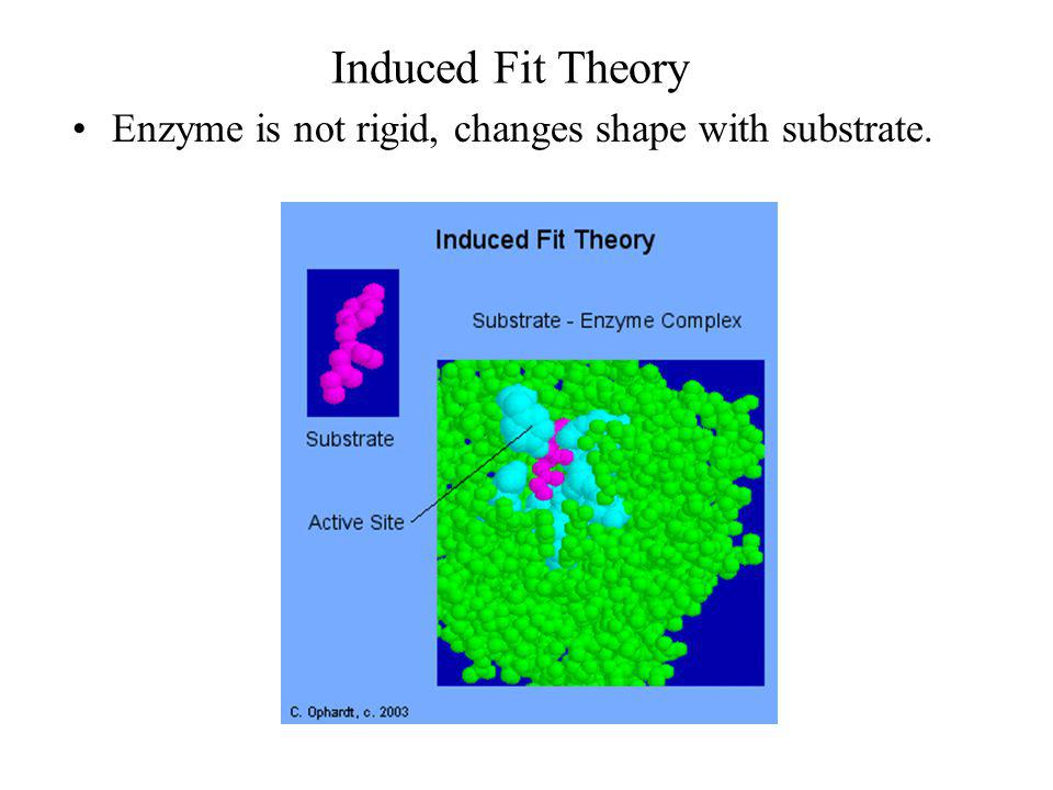 Induced Fit Theory Enzyme is not rigid, changes shape with substrate.