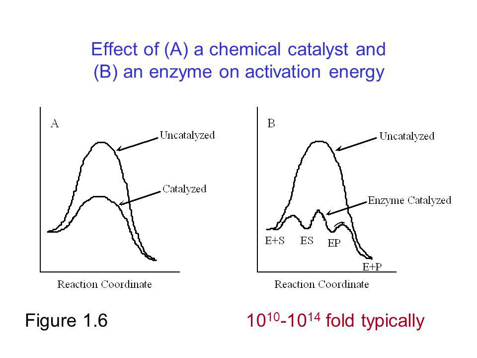 Effect of (A) a chemical catalyst and (B) an enzyme on activation energy