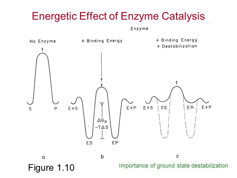 effects of enzyme catalysis of h2o2 Hydrogen peroxide, which is extremely poisonous under the influence of an enzyme called catalase, the hydrogen peroxide is broken down into water and oxygen.