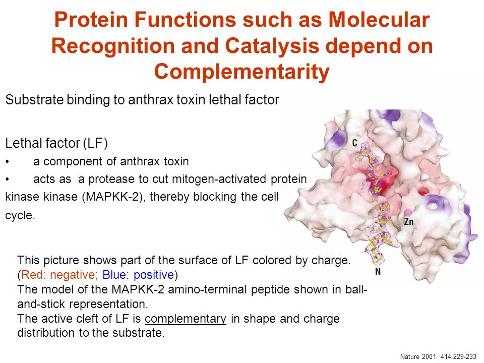 Protein Functions such as Molecular Recognition and Catalysis depend on Complementarity