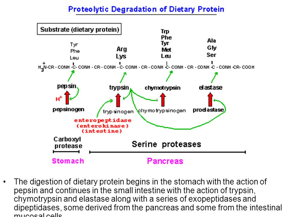 The digestion of dietary protein begins in the stomach with the action of pepsin and continues in the small intestine with the action of trypsin, chymotrypsin and elastase along with a series of exopeptidases and dipeptidases, some derived from the pancreas and some from the intestinal mucosal cells.