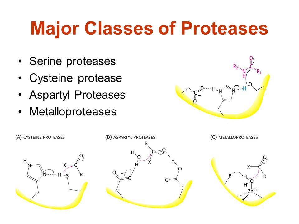 Major Classes of Proteases
