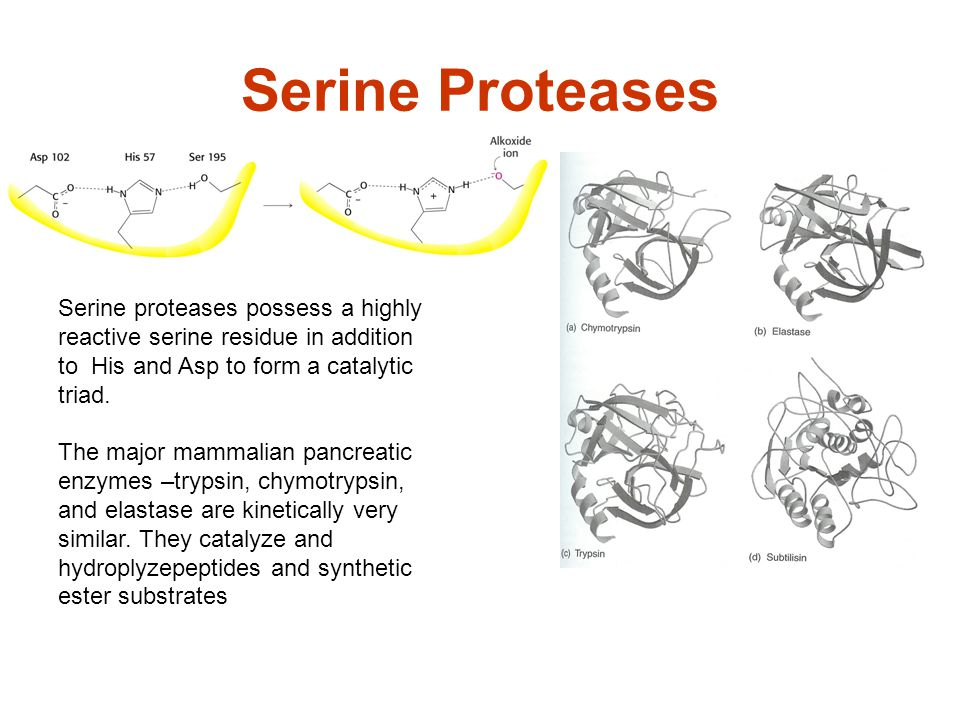 Serine Proteases Serine proteases possess a highly reactive serine residue in addition to His and Asp to form a catalytic triad.