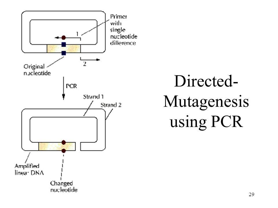 Directed-Mutagenesis using PCR