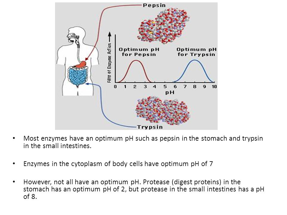 Most enzymes have an optimum pH such as pepsin in the stomach and trypsin in the small intestines.