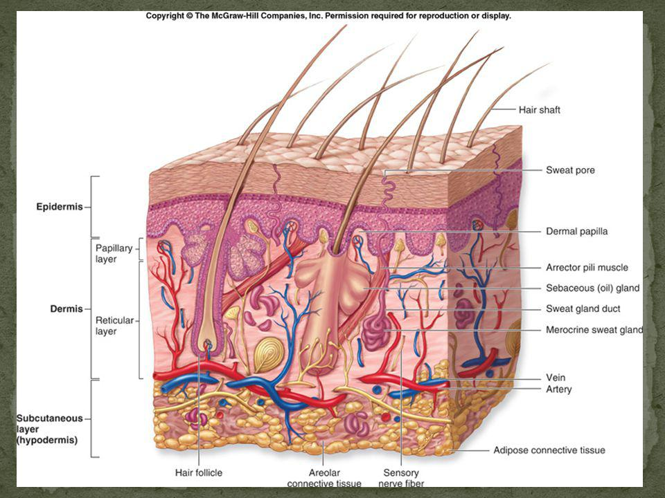 Epidermis( distal) & Dermis (proximal) compose skin