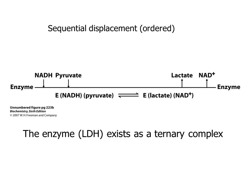 The enzyme (LDH) exists as a ternary complex