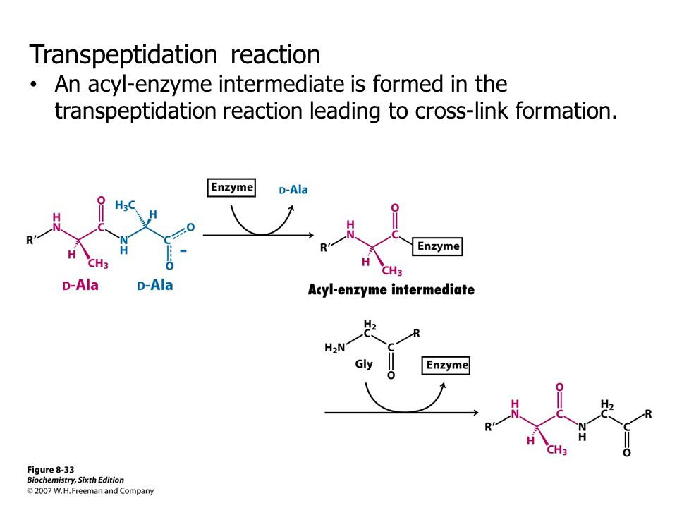 Transpeptidation reaction