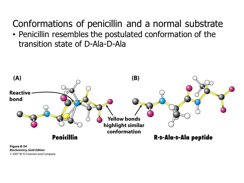 Conformations of penicillin and a normal substrate