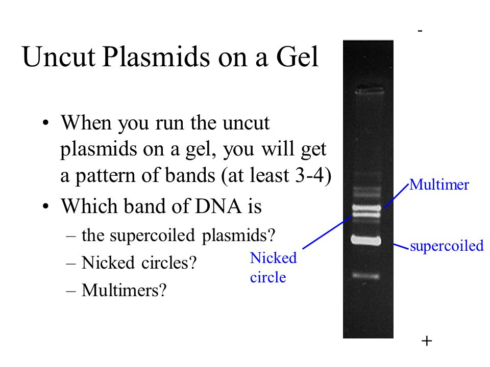 - + Uncut Plasmids on a Gel. When you run the uncut plasmids on a gel, you will get a pattern of bands (at least 3-4)