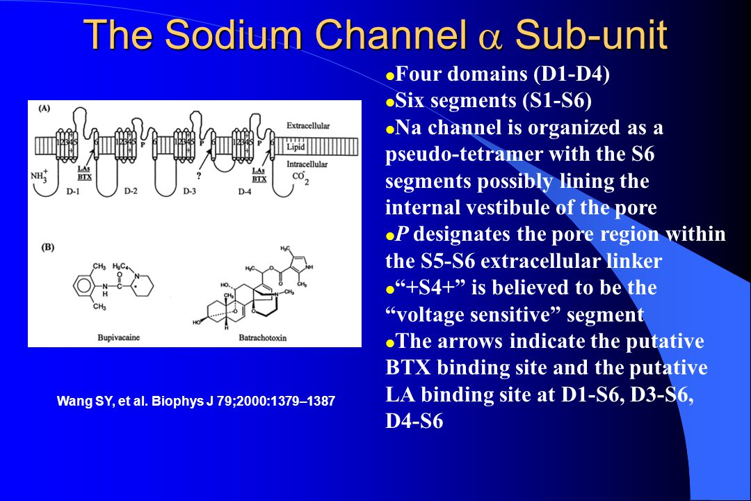The Sodium Channel  Sub-unit