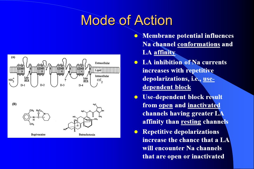 Mode of Action Membrane potential influences Na channel conformations and LA affinity.