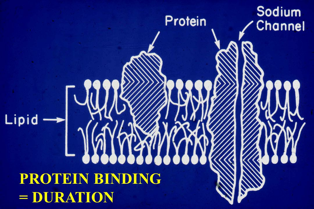 PROTEIN BINDING = DURATION