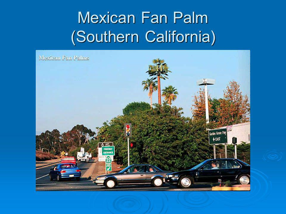 Mexican Fan Palm (Southern California)