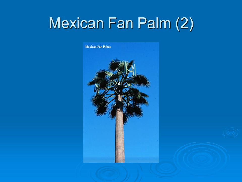 Mexican Fan Palm (2)