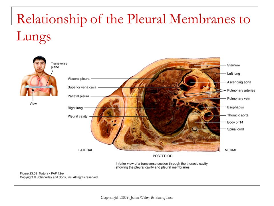 Relationship of the Pleural Membranes to Lungs