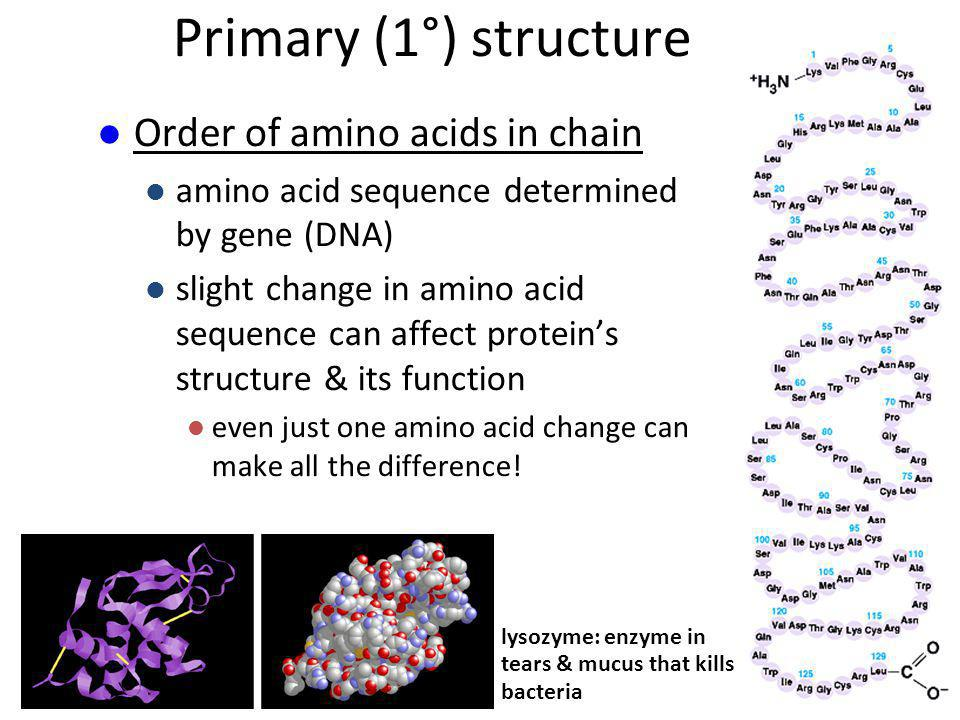 Primary (1°) structure Order of amino acids in chain