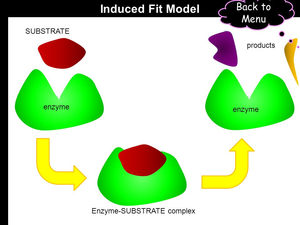 Induced Fit Model Back to Menu SUBSTRATE products enzyme