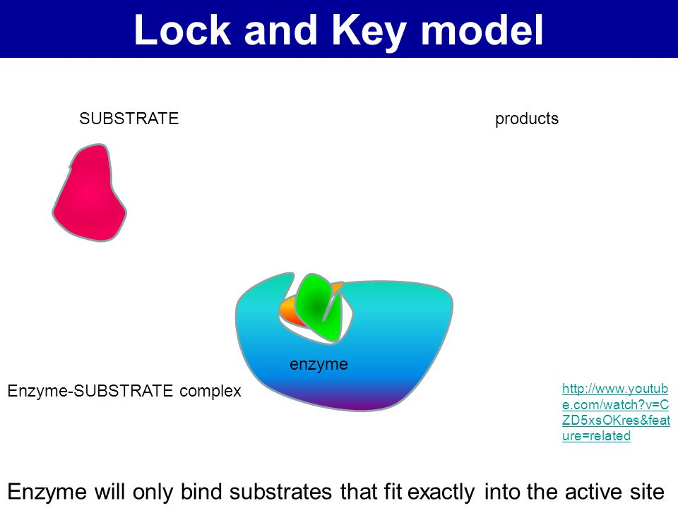 Lock and Key model SUBSTRATE. products. enzyme. Does not fully explain the functioning of all enzymes.