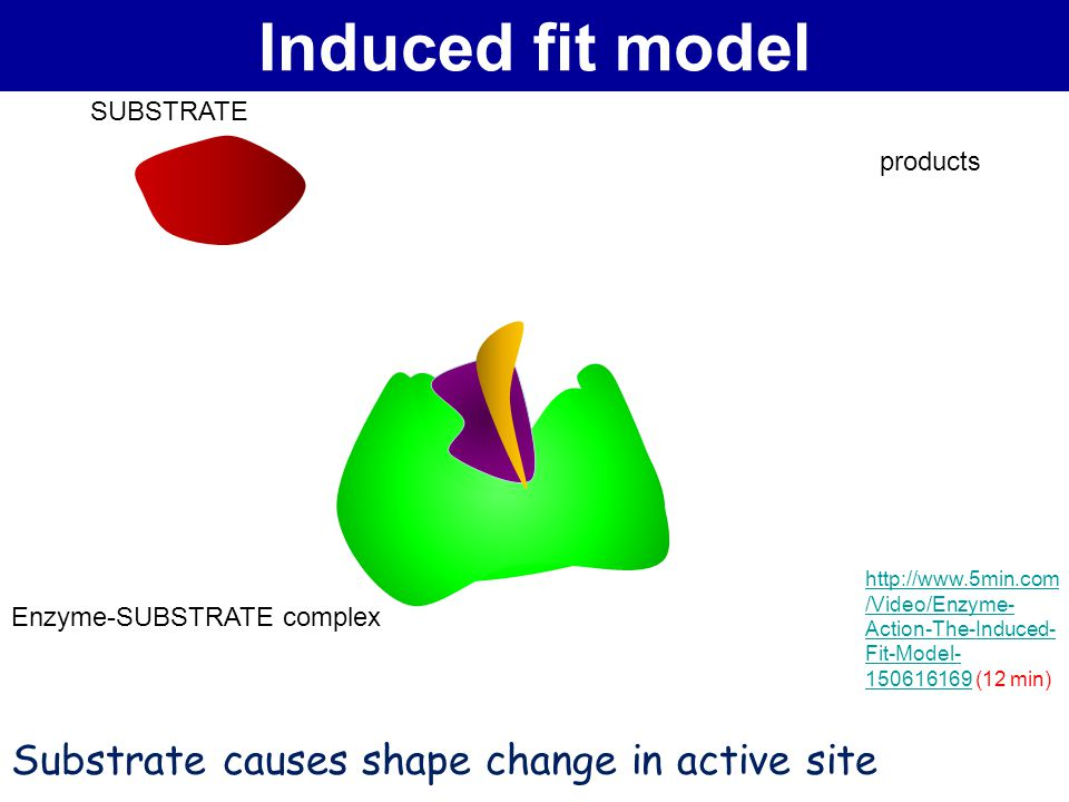 Induced fit model Substrate causes shape change in active site