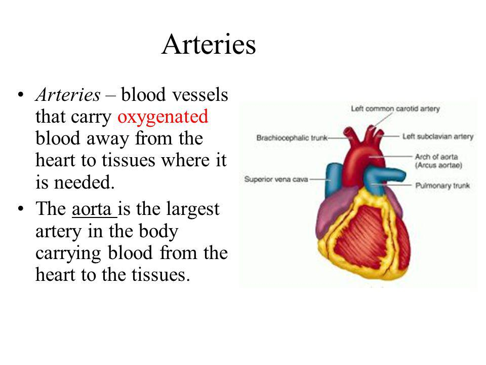 Arteries Arteries – blood vessels that carry oxygenated blood away from the heart to tissues where it is needed.