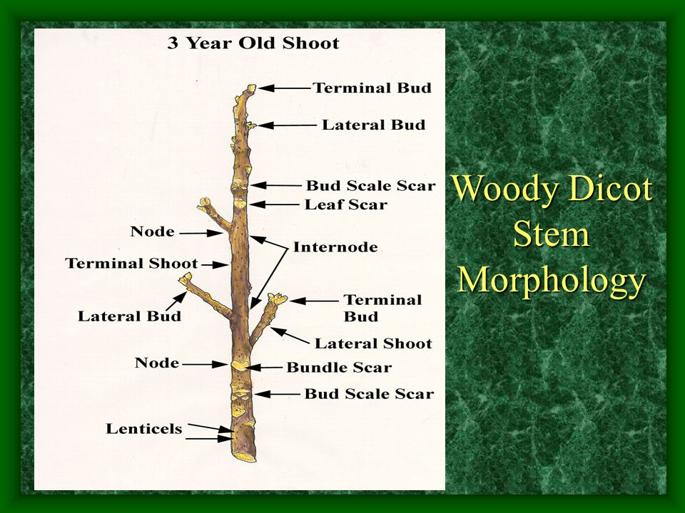 Woody Dicot Stem Morphology