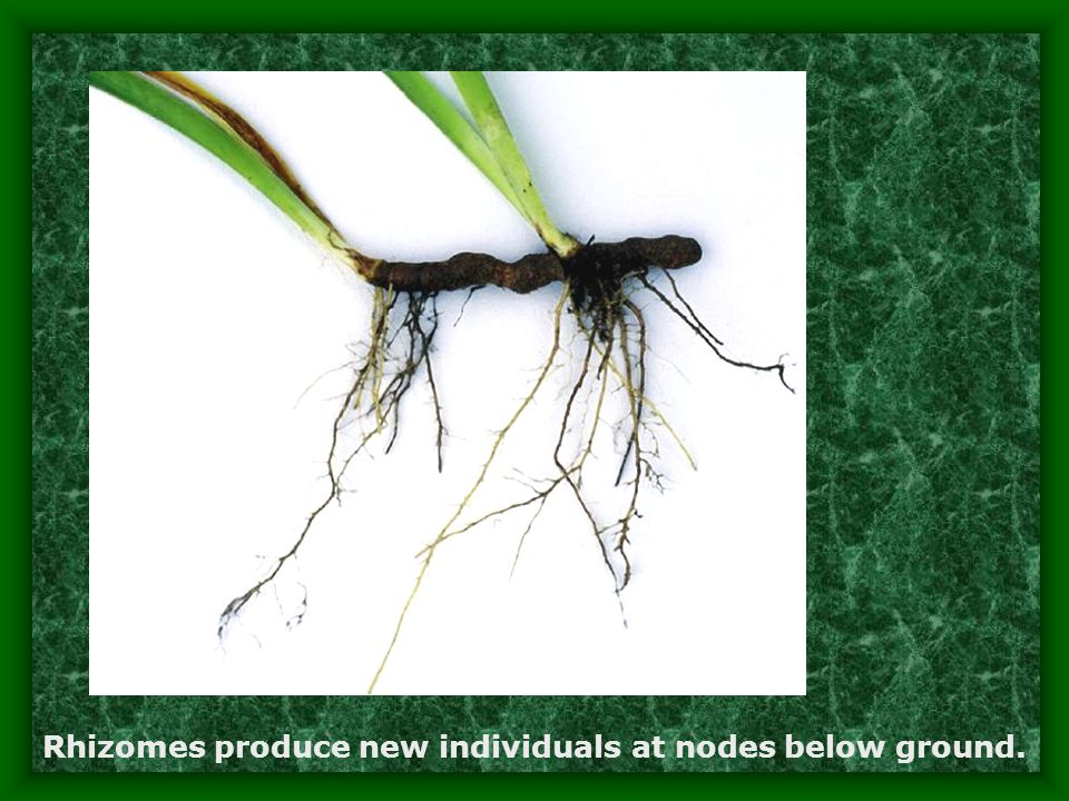 Rhizomes produce new individuals at nodes below ground.