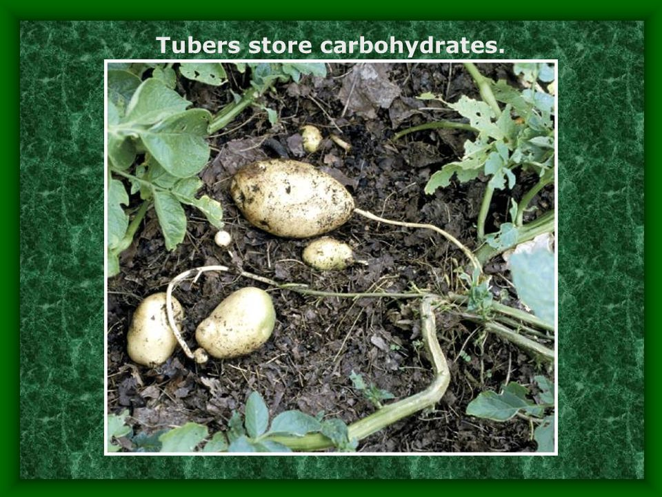 Tubers store carbohydrates.