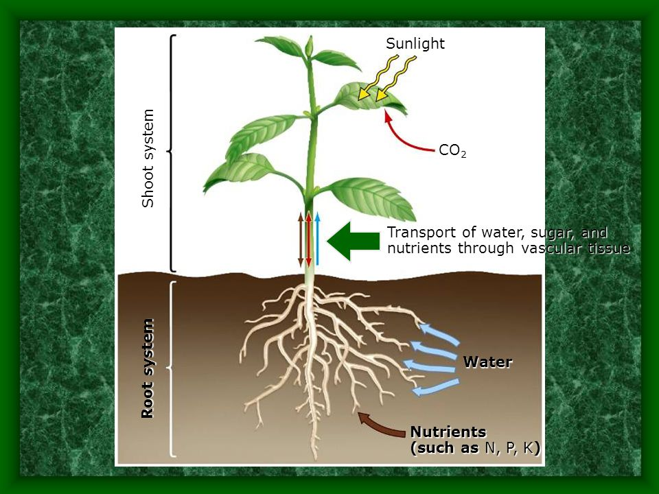 Sunlight Shoot system. CO2. Transport of water, sugar, and nutrients through vascular tissue. Root system.