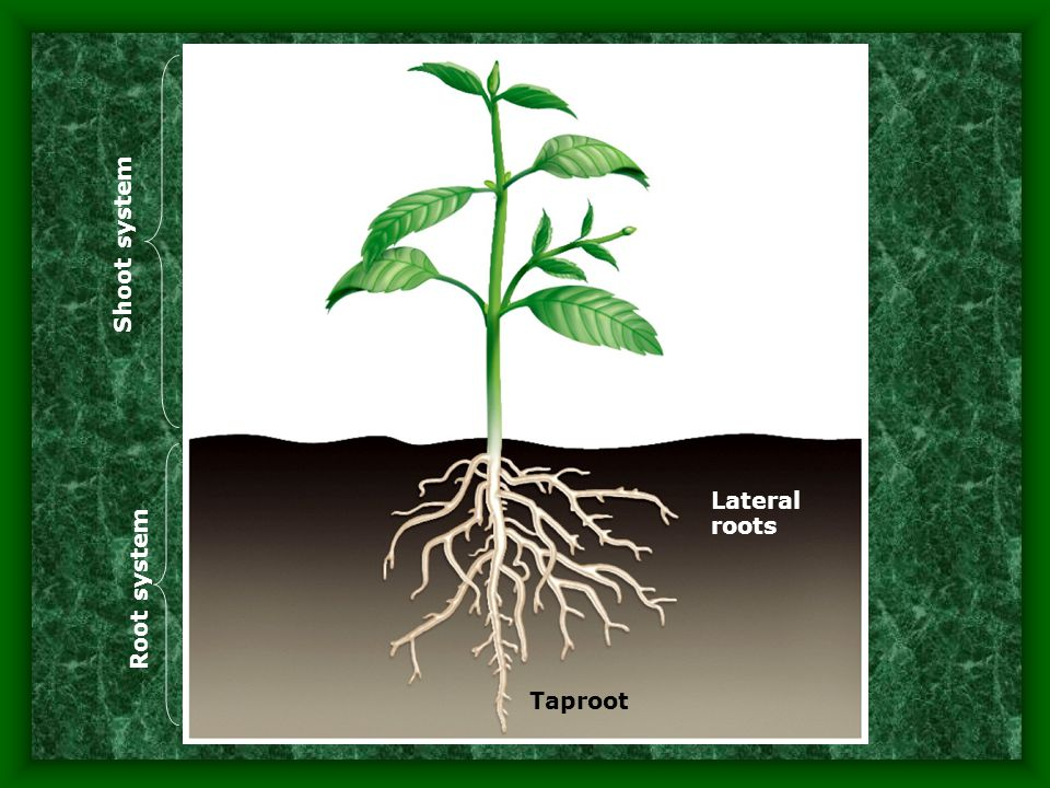 Shoot system Lateral roots Root system Taproot