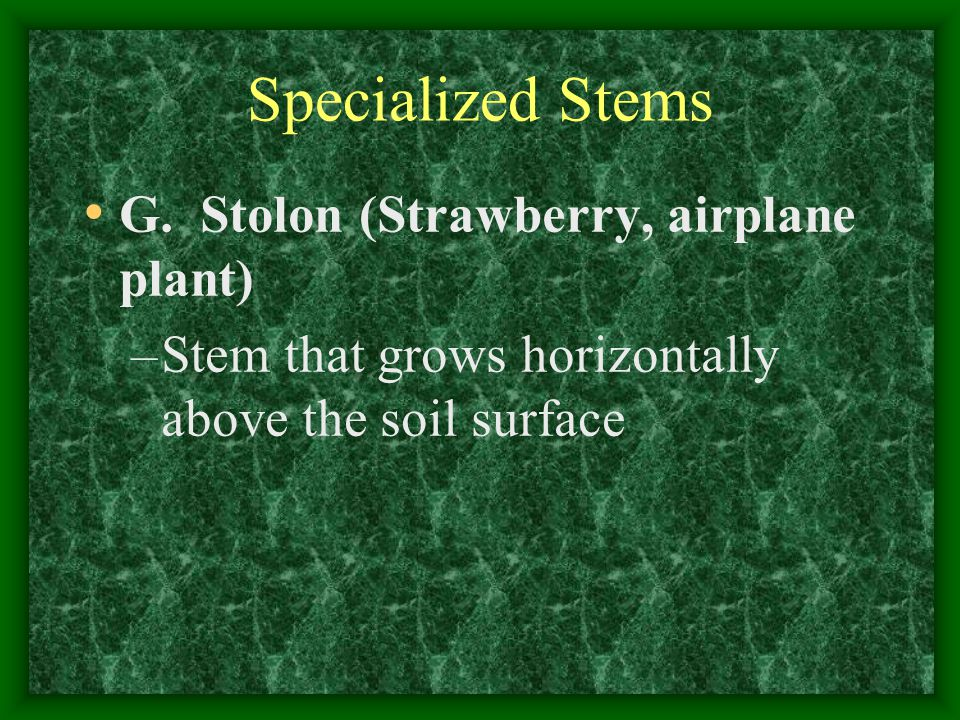 Specialized Stems G. Stolon (Strawberry, airplane plant)