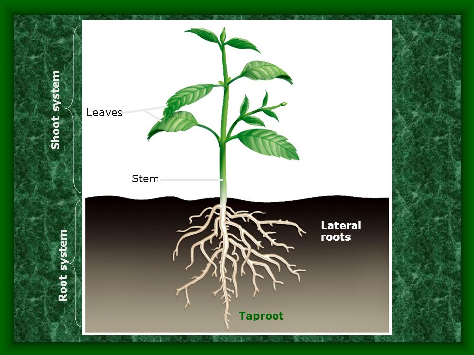 Shoot system Leaves Stem Lateral roots Root system Taproot