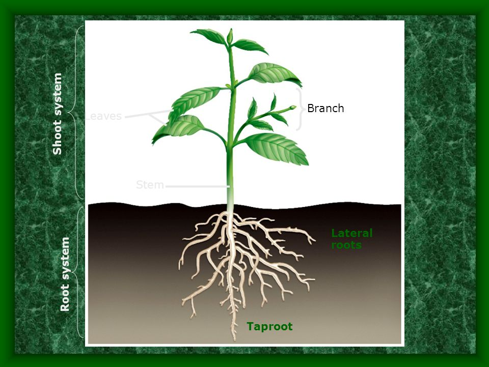Shoot system Branch Leaves Stem Lateral roots Root system Taproot