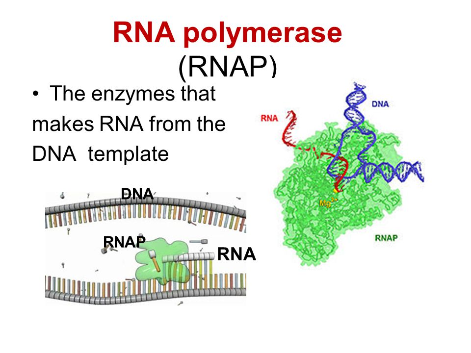 RNA polymerase (RNAP) The enzymes that makes RNA from the DNA template