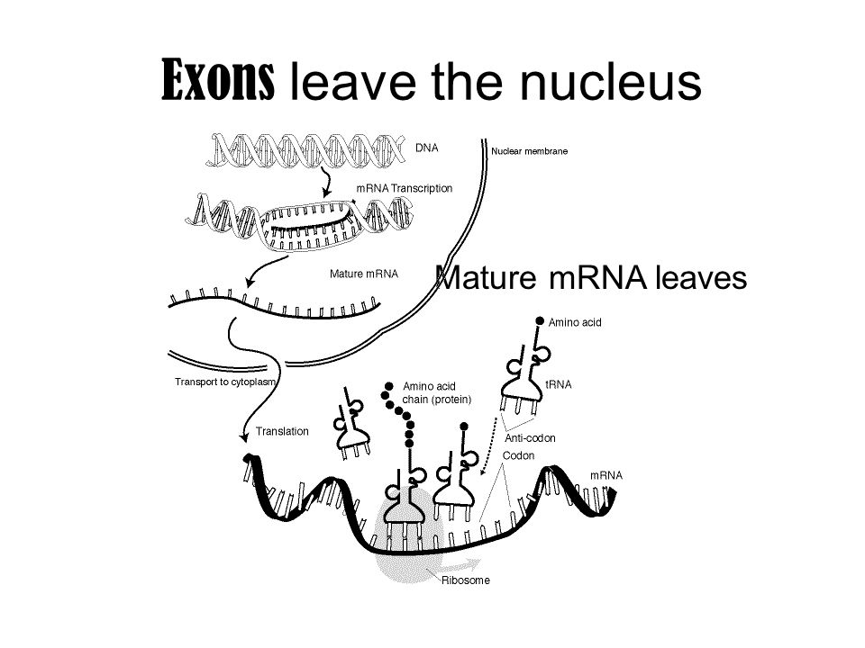 Exons leave the nucleus