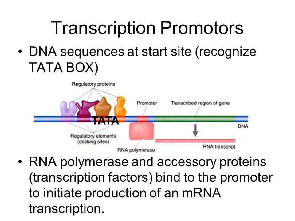 Transcription Promotors