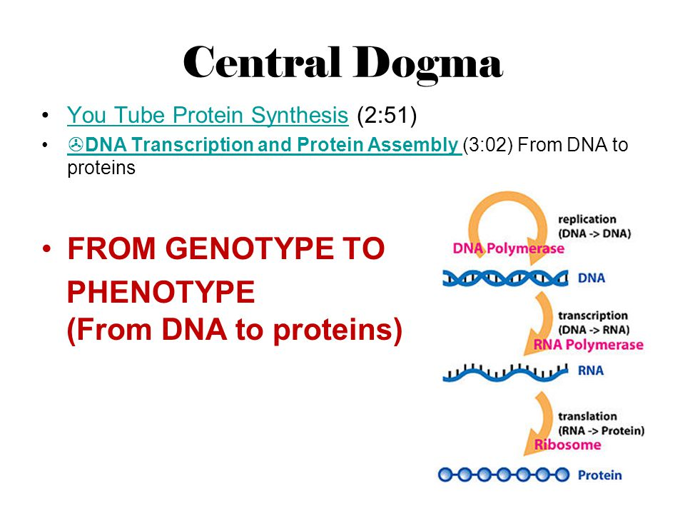 Central Dogma FROM GENOTYPE TO PHENOTYPE (From DNA to proteins)