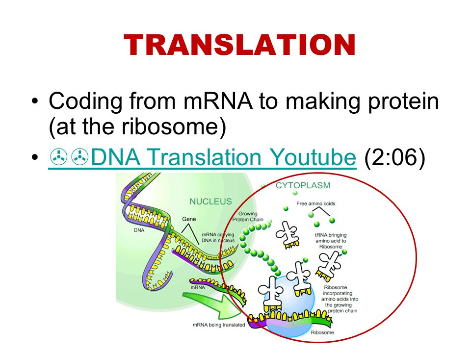 TRANSLATION Coding from mRNA to making protein (at the ribosome)