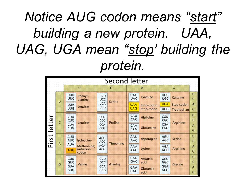 Notice AUG codon means start building a new protein