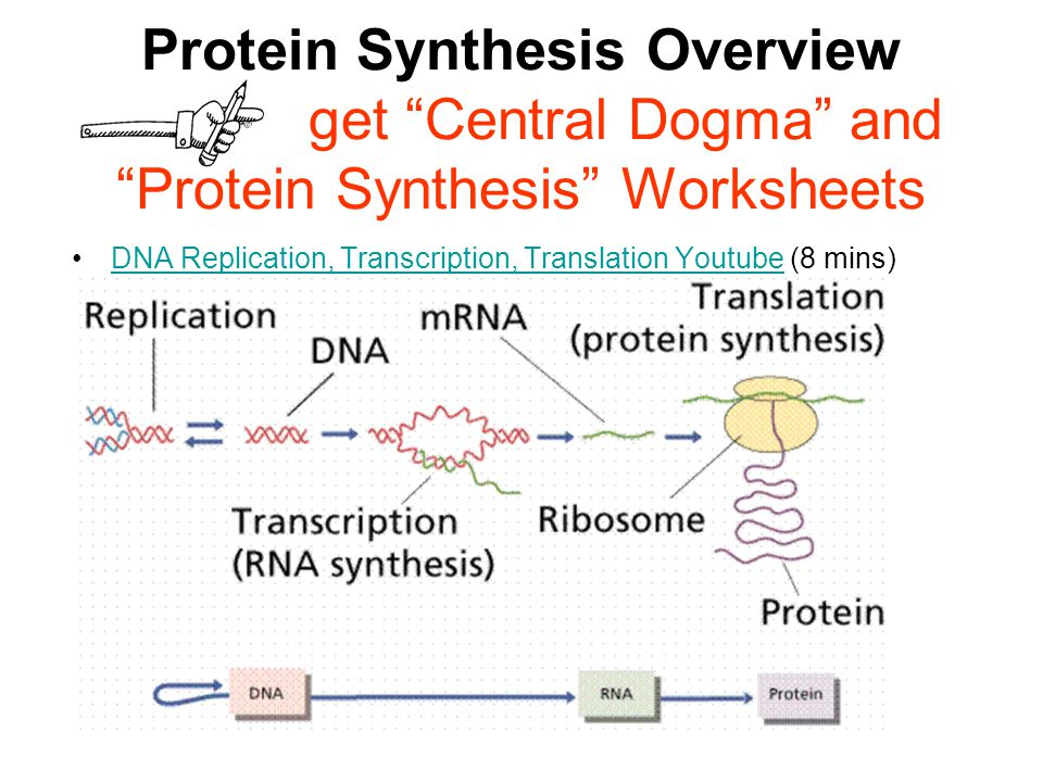 From DNA to protein And viruses And bacteria ppt video online – Dna and Protein Synthesis Worksheet