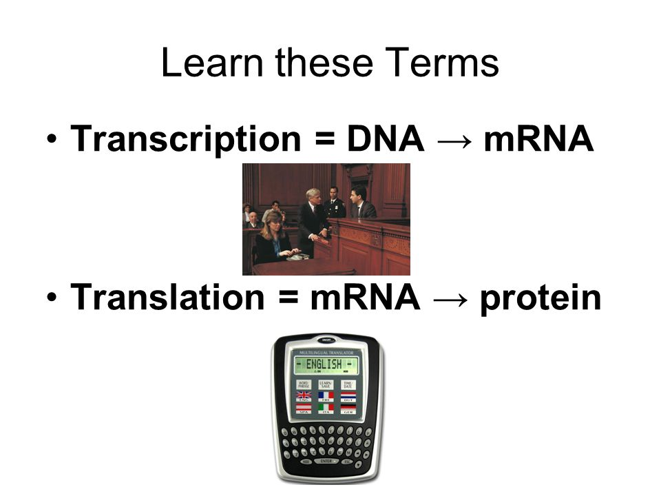 Learn these Terms Transcription = DNA → mRNA