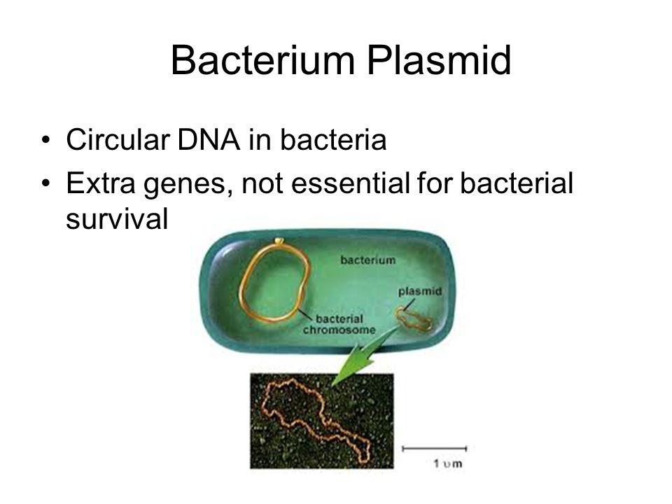 Bacterium Plasmid Circular DNA in bacteria